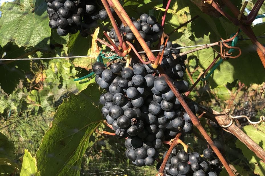 Eesti-veinitee-MuhuVeinitalu-Rondo