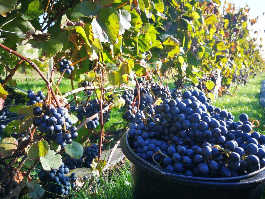 Eesti-veinitee-Tori siidritalu-viinamarjavein