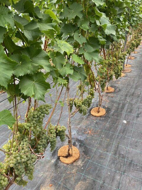 Murimäe-viinamarjad-Eesti-Veinitee